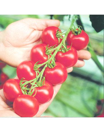 Extra frühe Tomate ´Cindel´