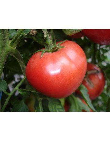 Fleisch-Tomate 'Berner Rose'
