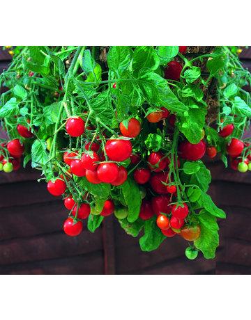 Hänge-Tomate
