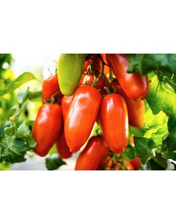 San-Marzano-Tomate veredelt 'Tuma'