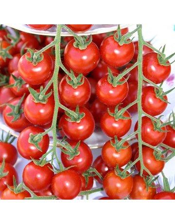 Cocktail-Tomate 'Philovita'