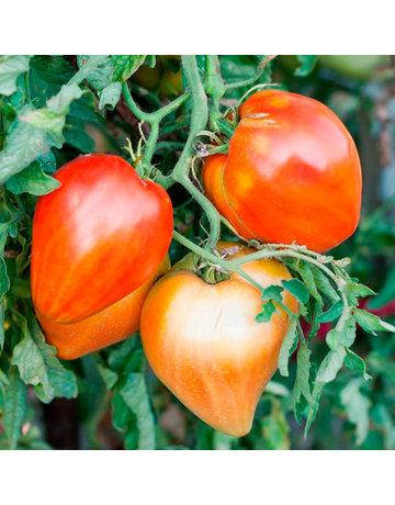 Fleisch-Tomate 'Ochsenherz'