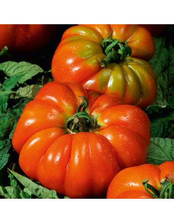 Italienische Fleisch-Tomate veredelt 'Delizia'