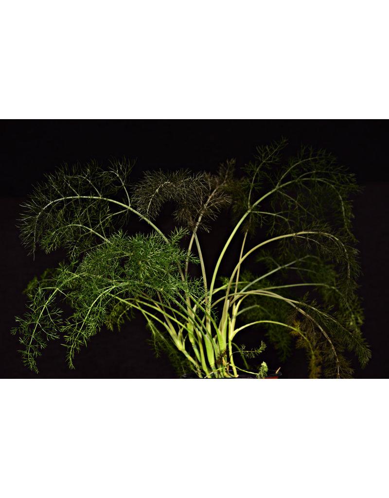 Foeniculum vulgare var. rubrum