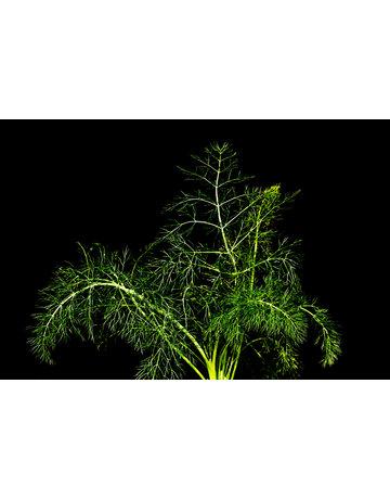 Gewürz-Fenchel grün
