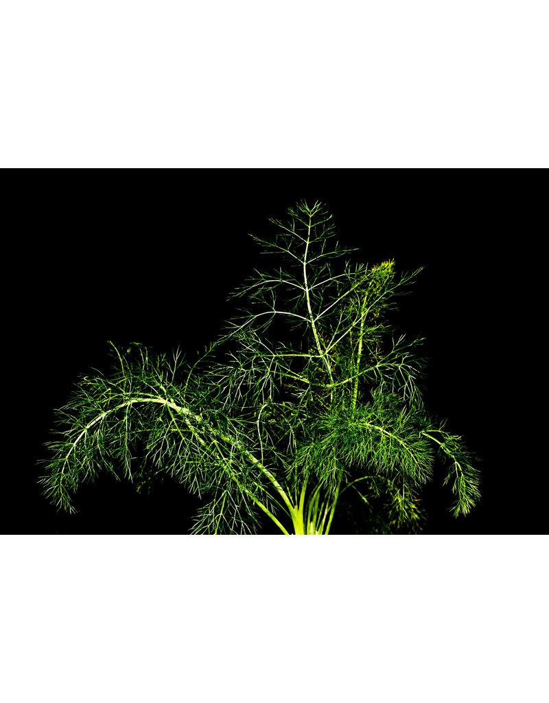 Foeniculum vulgare