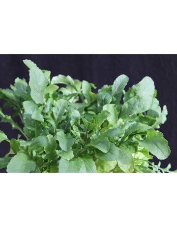 Salat-Rauke, Ruccola