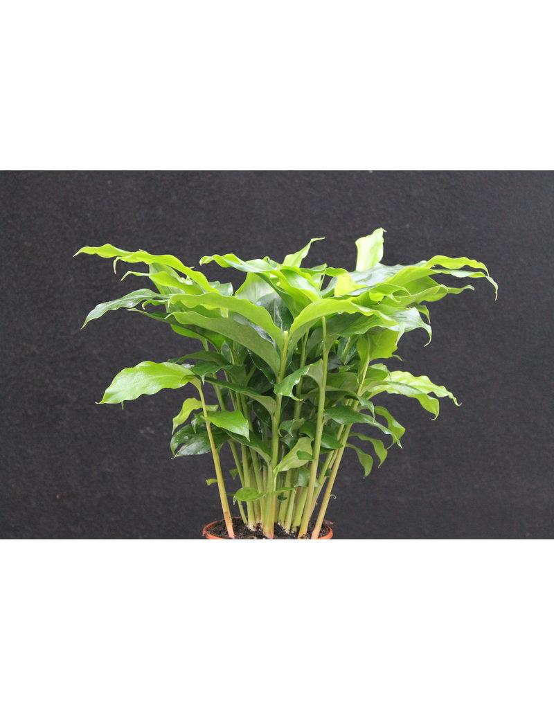 Kardamom - Elettaria cardamomum