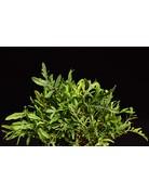 Diplotaxis tenuifolia ´Teufelszunge´