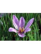Crocus sativum