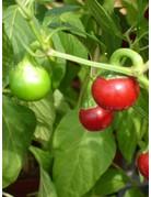 Capsicum annuum 'Red Cherry'