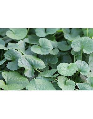 Gotu Kola, Pflanze der Langlebigkeit