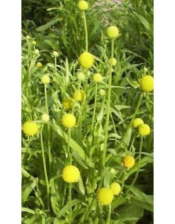 Gummibärchen-Blume (R)
