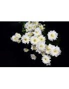 Chrysanthemum hortorum