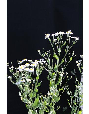 Marienblatt, Kaugummipflanze
