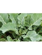 Brassica oleracea var. ramosa