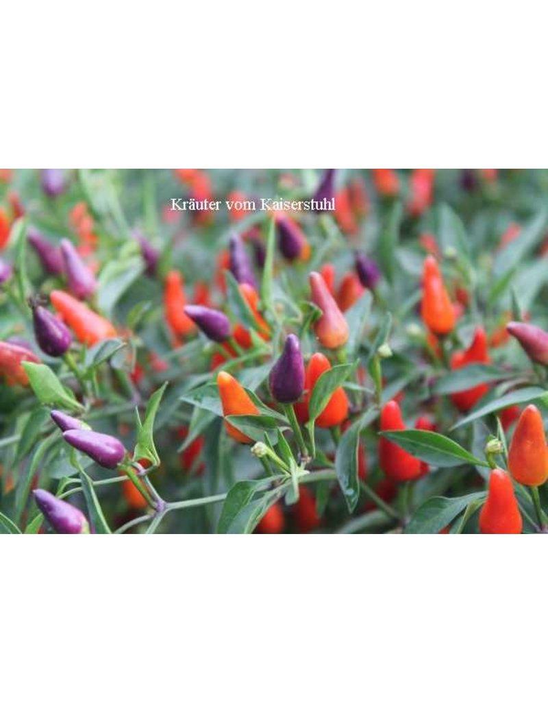 Capsicum frutescens ´Bolivian Rainbow´