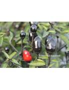 Capsicum frutescens ´Black Namaqualand´