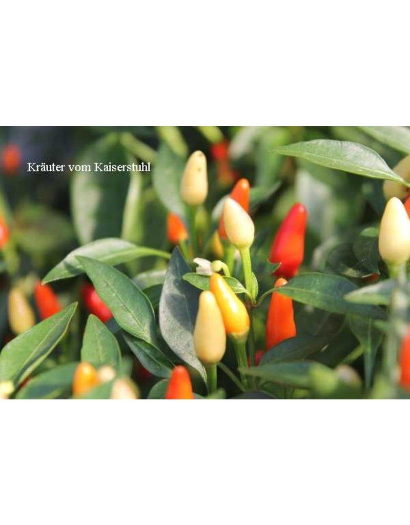 Capsicum frutescens 'Rawit'