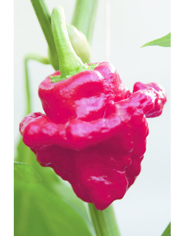 Chili ´Scotch Bonnet´