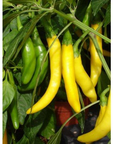 Gelbe Peperoni 'Starflame'