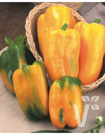 Jumbo-Paprika veredelt 'Maribel' gelb