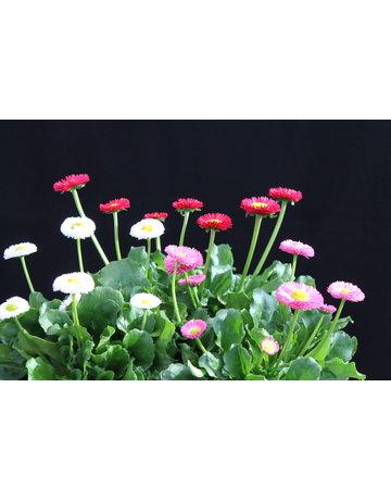 Bellis essbare Blüten