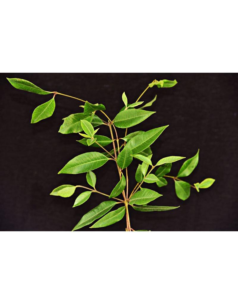 Backhousia citrodora