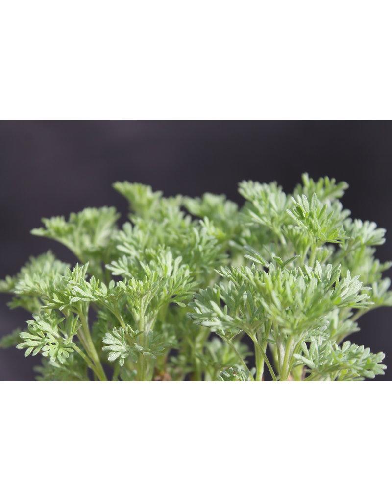 Colastrauch (Artemisia abrotanum var. maritima)