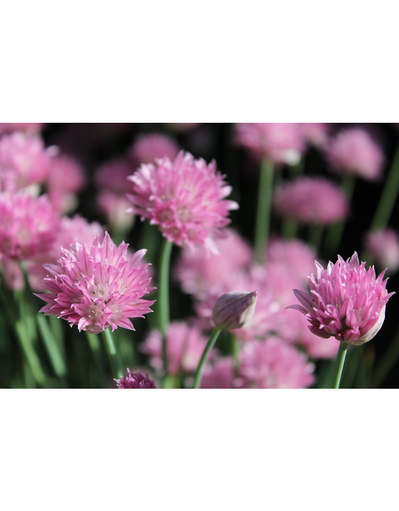 Allium schoenoprasum ´Forescate´