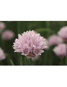 Allium schoenoprasum ´Curly Mauve´