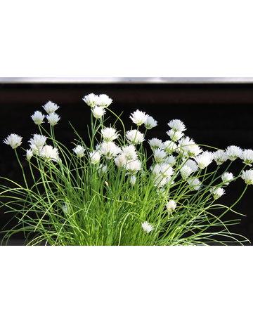 Schnittlauch weißblühend