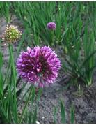 Allium hybr. Quattro