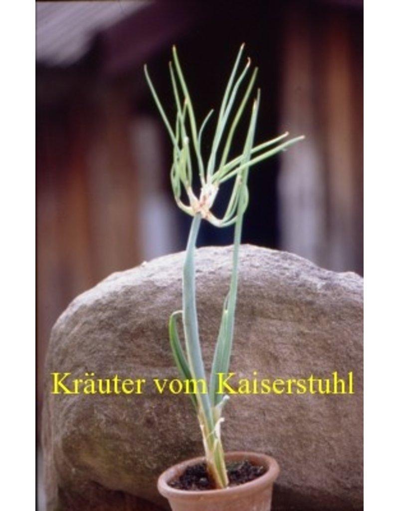 Allium cepa var. viviparum
