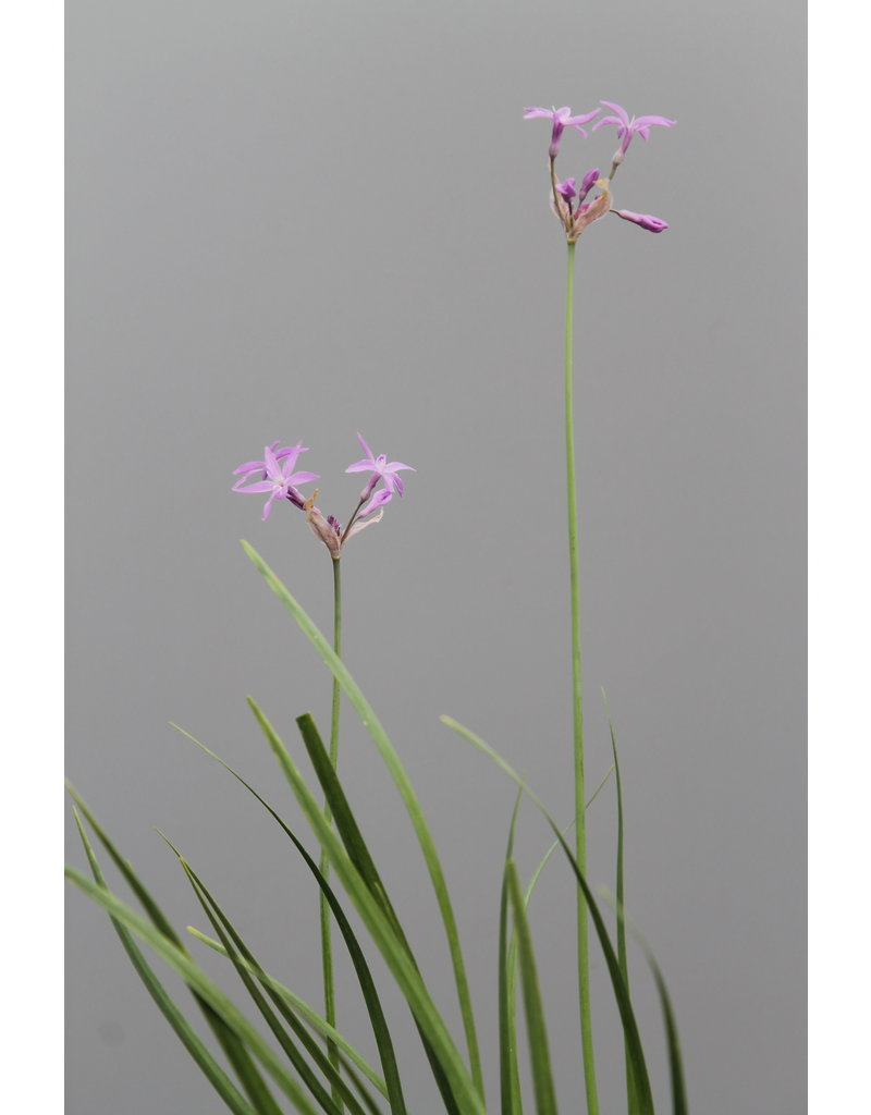 Grüner Zimmer-Knofi - Tulbaghia violacea
