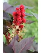 Rizinus (Ricinus communis)