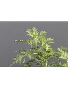 Afrikanischer Wermut - Artemisia afra