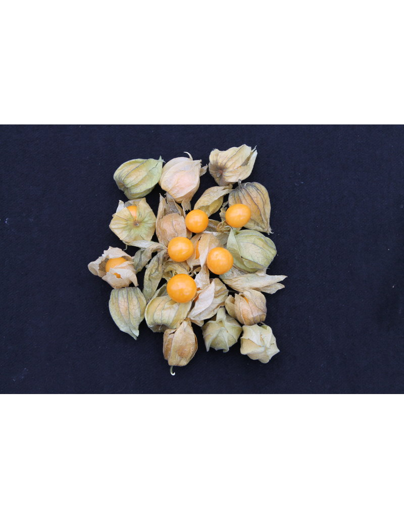 Frühe Andenbeere 'Goldita' - Physalis peruviana