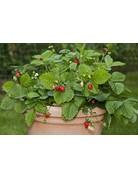Wald-Erdbeere 'Hummi®-Waldfee' - Fragaria vesca