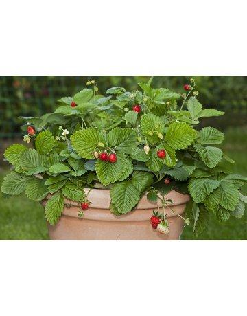 Wald-Erdbeere 'Hummi®-Waldfee'