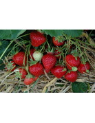 Topf-Erdbeere 'Hummi® Süße Brumme' - Fragaria ananassa