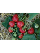 Hänge-Erdbeere 'Hummi®-Meraldo' - Fragaria ananassa