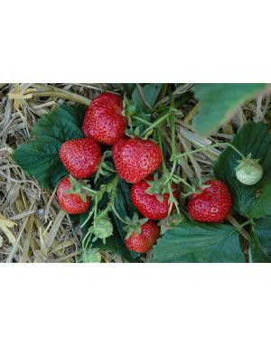 Hänge-Erdbeere 'Hummi®-Meraldo'