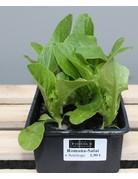 vielerlei Salate für Ihr Frühbeet, Hochbeet und Garten