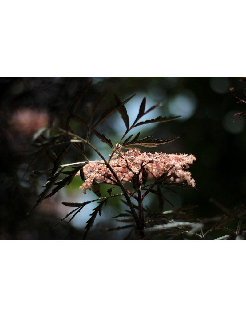Dunkellaubiger Holunder 'Black Lace®' - Sambucus nigra