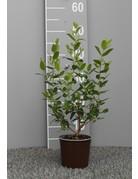 Griechische Myrte (Myrtus communis)