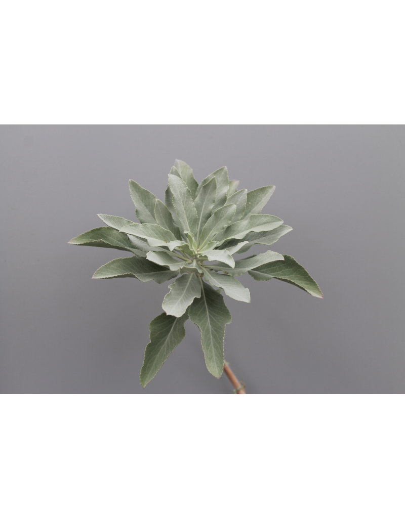 Indianischer Räuchersalbei (Salvia apiana)