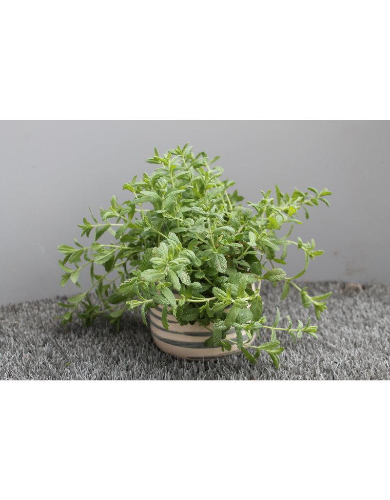 Knoblauch-Gamander (Teucrium scordium)