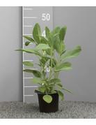 Küchen-Salbei 'Dalmatia' - Salvia officinalis 'Dalmatia'
