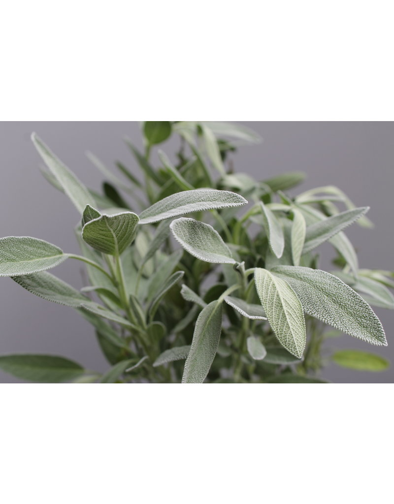 Lavendel-Salbei (Salvia officinalis 'Lavandufolia')
